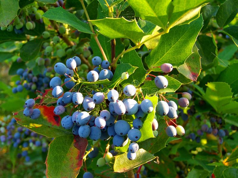 Plant, Bilberry, Blueberry, Huckleberry stock photography