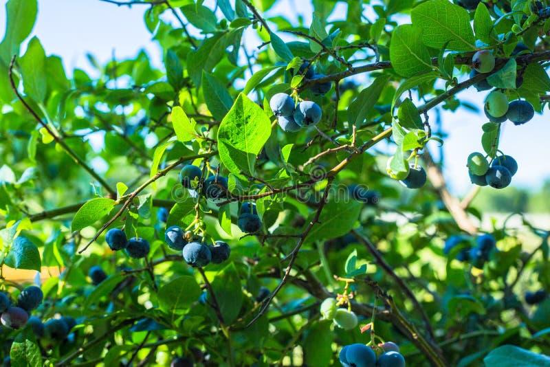 Plant, Bilberry, Fruit, Tree stock image