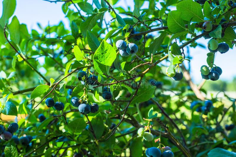 Plant, Bilberry, Tree, Fruit stock photography
