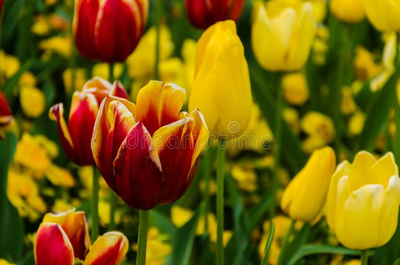 Plant flowering and blossoming during spring morning season. Plant blossoming during morning time in the spring season with trace of water morning royalty free stock photo
