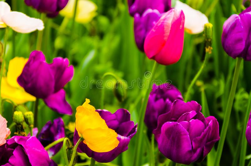 Plant flowering and blossoming during spring morning season. Plant blossoming during morning time in the spring season with trace of water morning royalty free stock photos