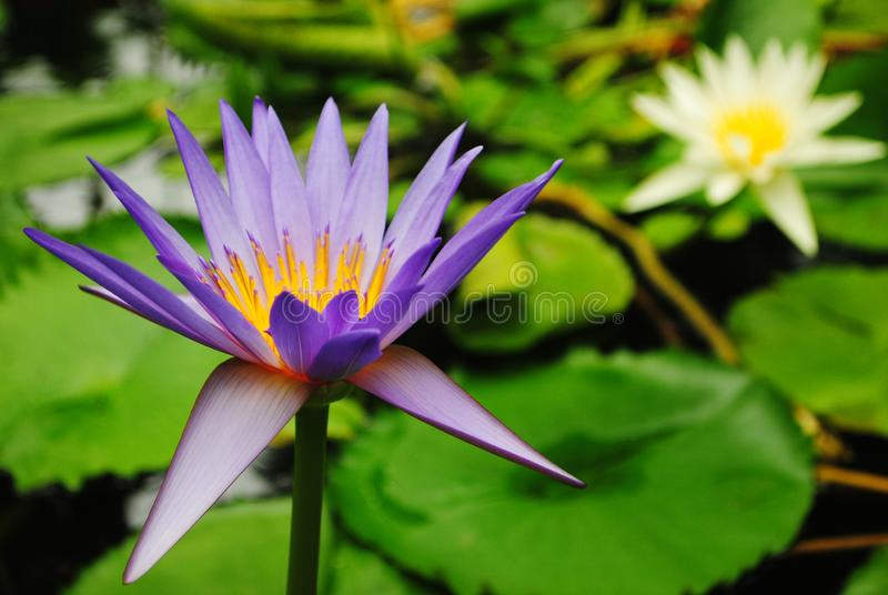 Plant flowering and blossoming during spring morning season. Plant blossoming during morning time in the spring season with trace of water morning stock images