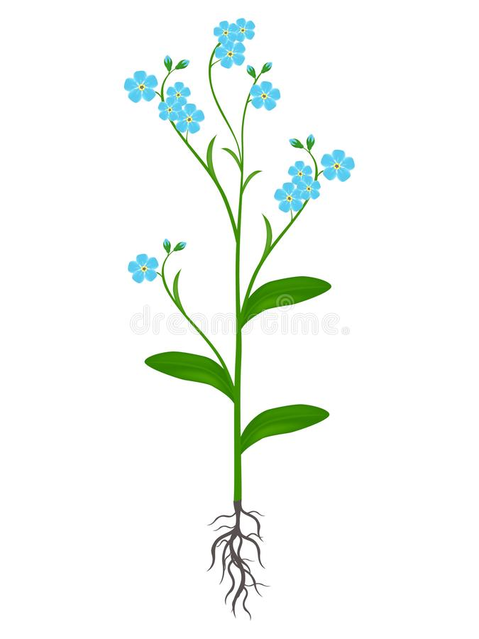 Plant of blue forget me nots on a white background. stock illustration