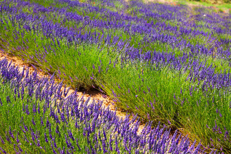 Plant of blue lavender stock photos