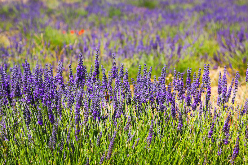 Plant of blue lavender at field royalty free stock images