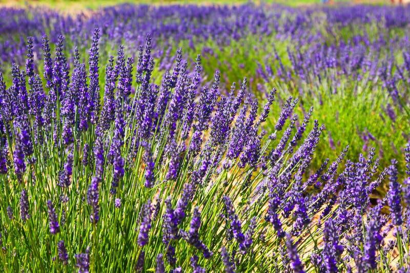 Plant of blue lavender stock image