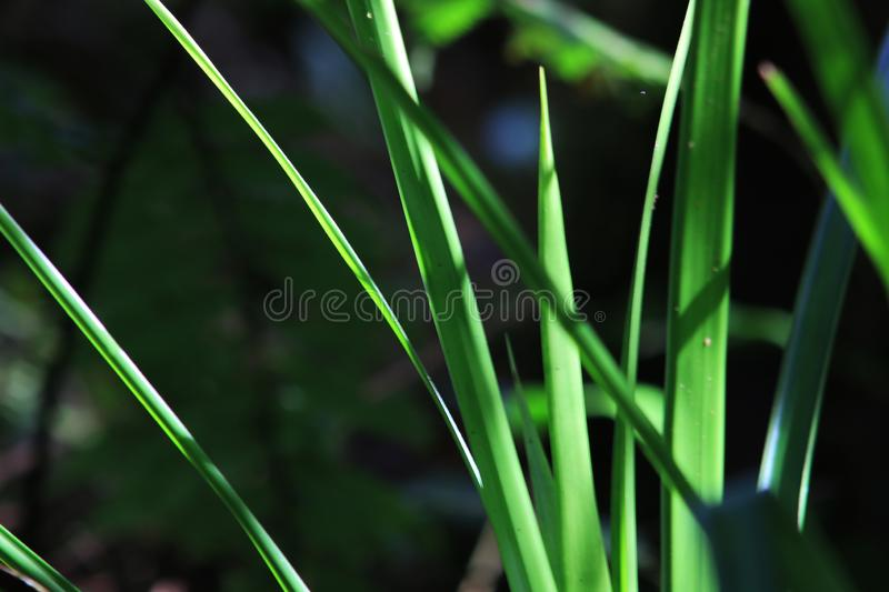 A plant with bright green leaves that are also the stem stock photo