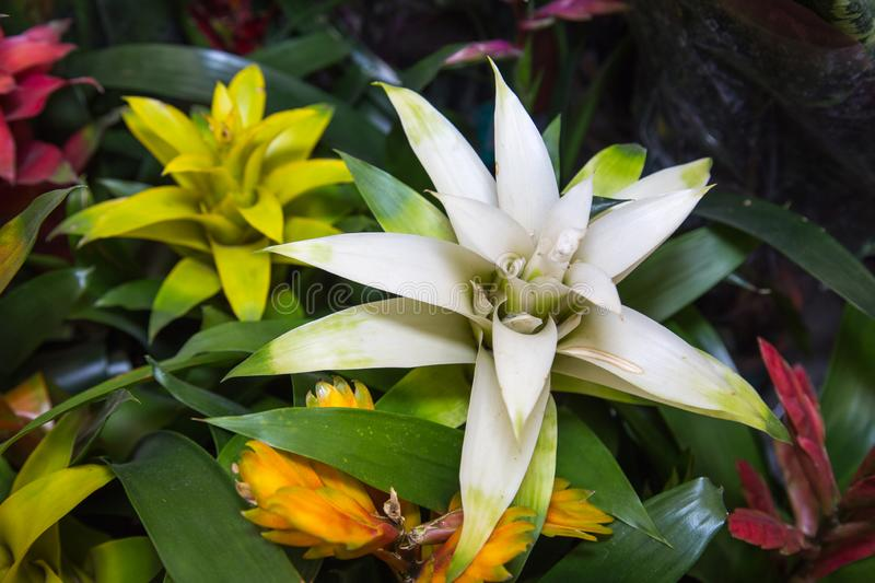 Plant Bromelia cupcake mix on a background of green leaves. Selective focus. Fauna, plants royalty free stock photo