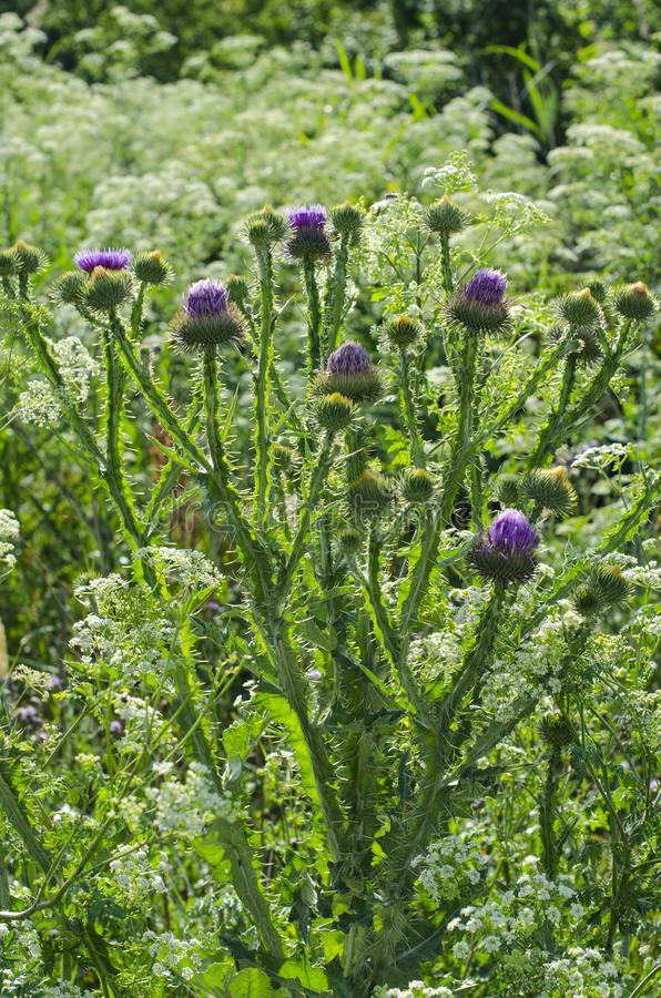 Plant burdock proudly grows in the field stock photo