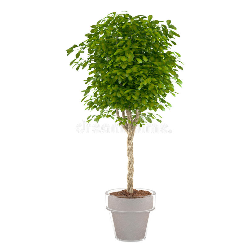Plant bush in the pot. At the white background royalty free illustration