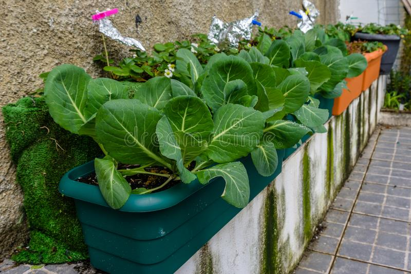 Plant of cabbage and leaves in vases of an urban garden. stock photo