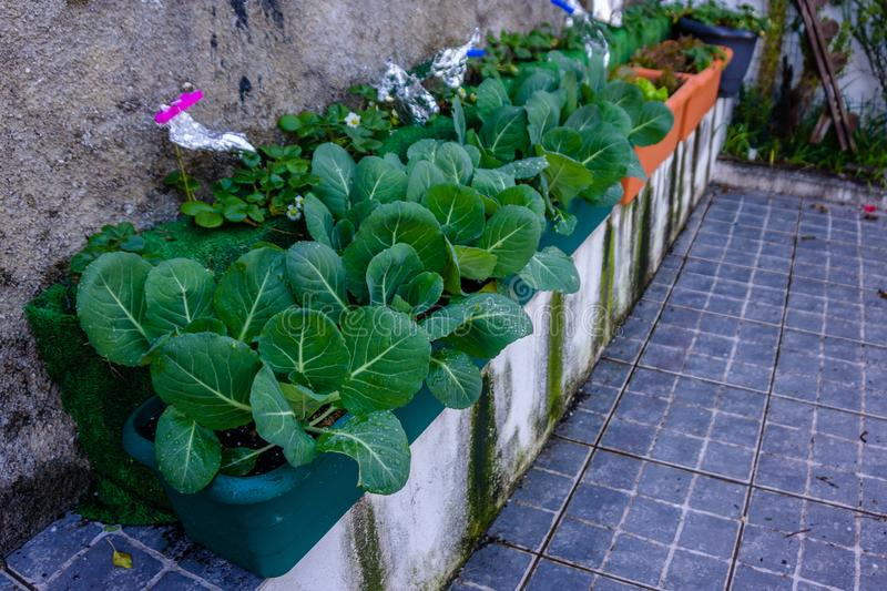 Plant of cabbage and leaves in vases of an urban garden. stock photos