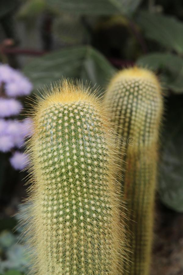 Plant, Cactus, Flowering Plant, Thorns Spines And Prickles stock photo