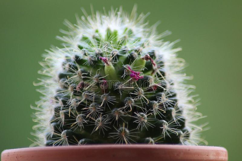 Plant, Cactus, Thorns Spines And Prickles, Flowering Plant stock photo