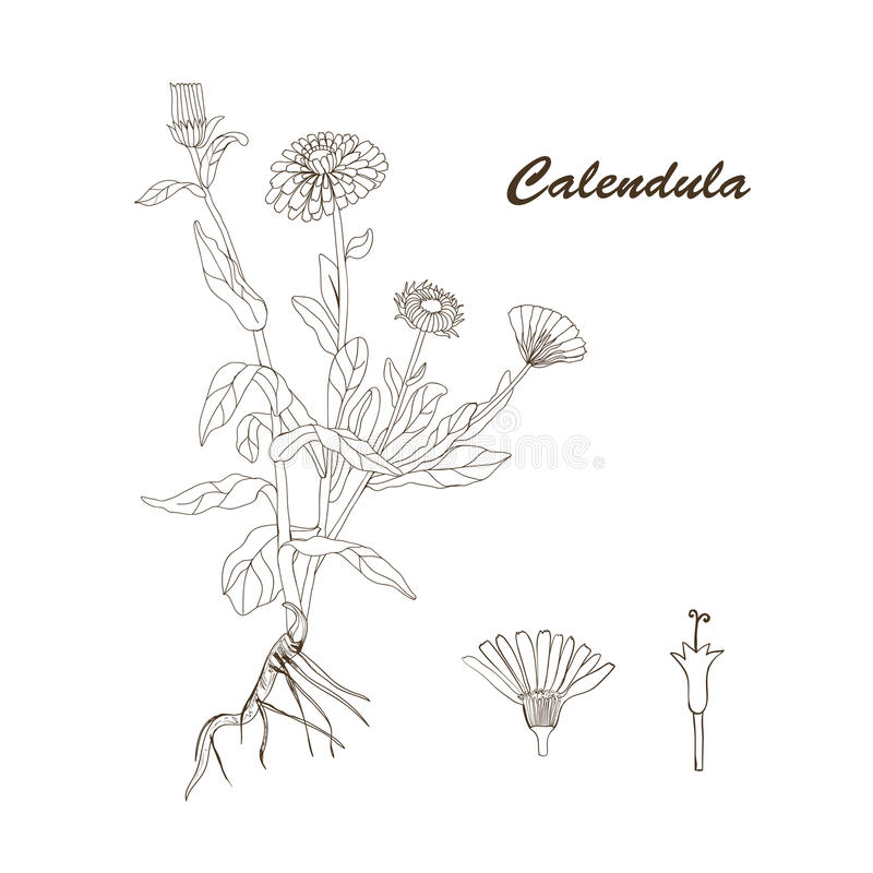 The plant of Calendula royalty free stock images