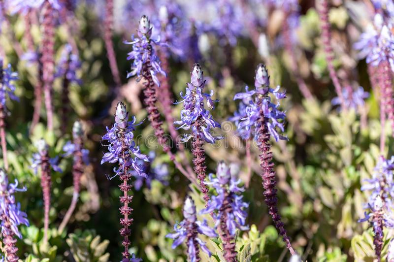This plant is called Plectranthus ornatus royalty free stock image