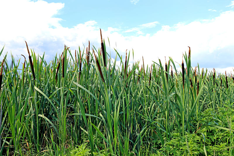 The plant cane. Many plants reeds on a sunny day stock photo