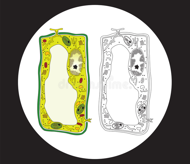 Plant cell cross section stock illustration