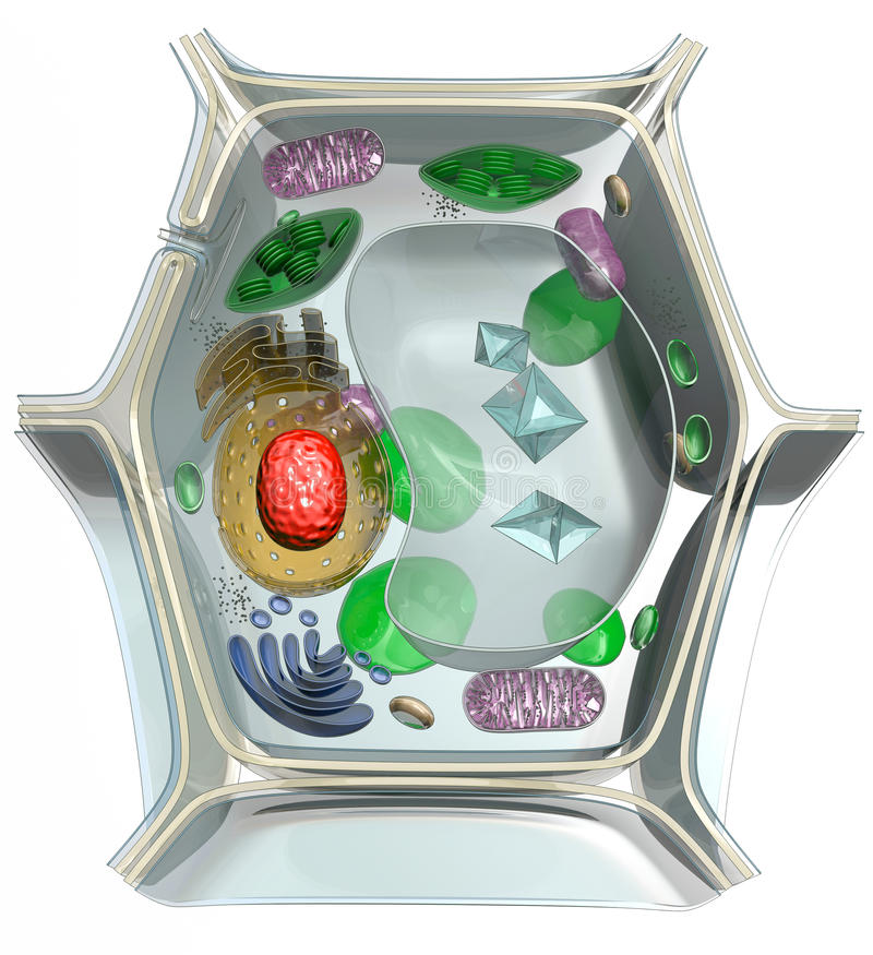 Plant cell. Isolated on white stock illustration