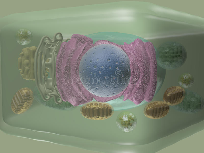 Plant cell side view. 3D model of cell plant contents. Includes mitochondrion, chloroplast, cell nucleous, endoplasmatic reticulum vector illustration