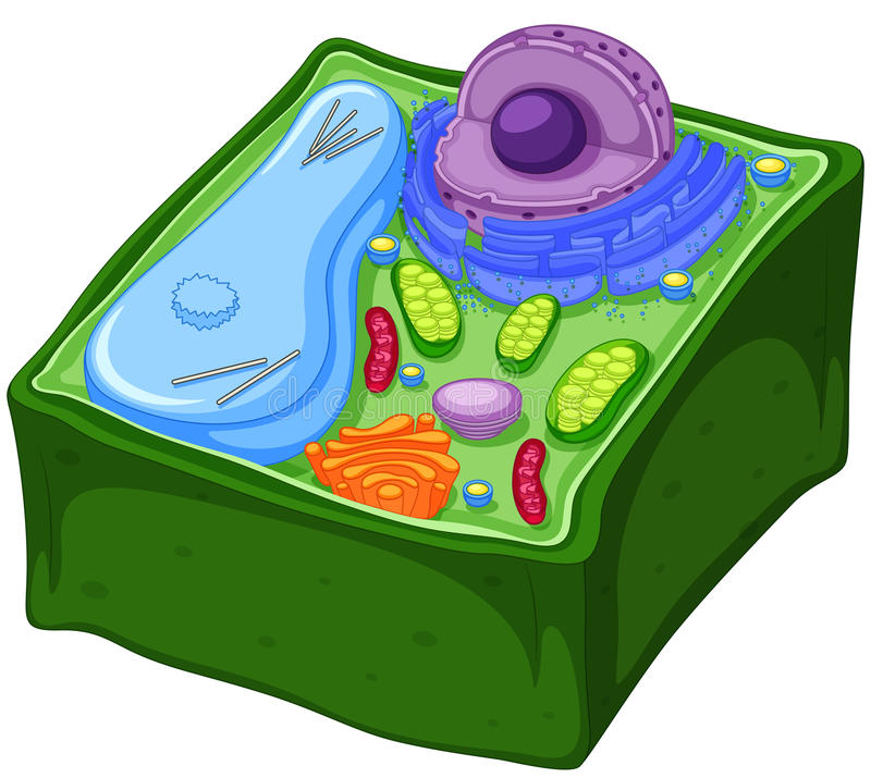 plant cell   dimensions stock vector illustration