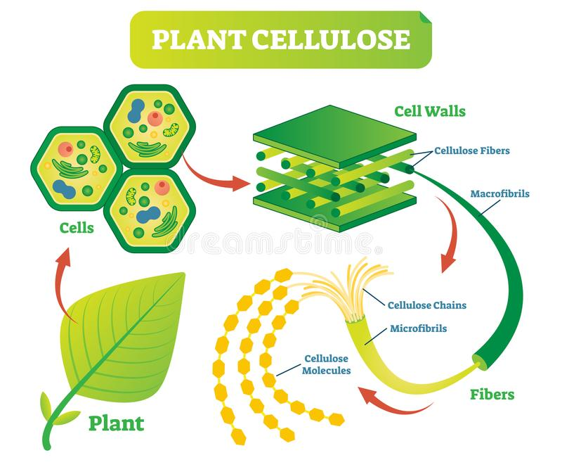Plant cellulose biology vector illustration diagram. royalty free illustration