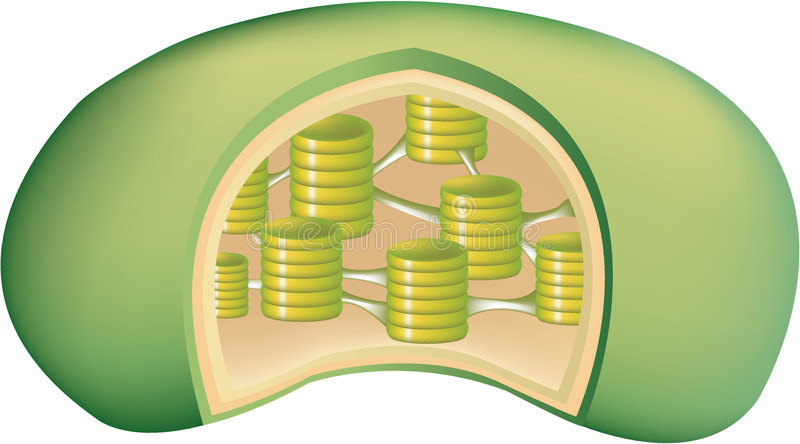 Plant chloroplast 2. Illustration of a chloroplast stock illustration