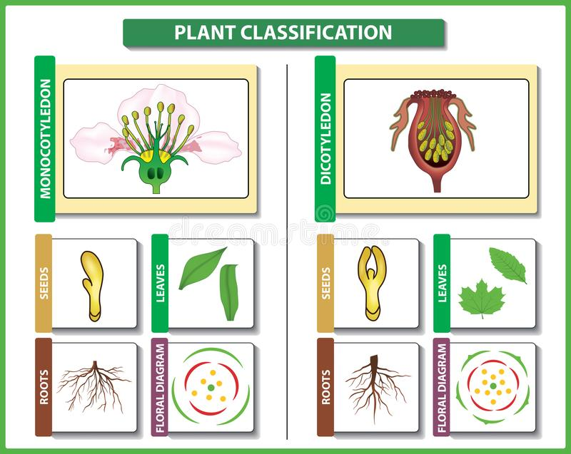Plant classification. Monocots vs Dicots - difference and comparison. royalty free stock image
