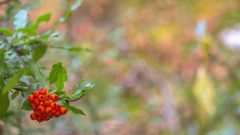 Plant with clustered vibrant red round fruits stock images