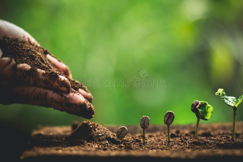 Plant Coffee seedlings in nature Close-Up Of Fresh Green Plant stock photos