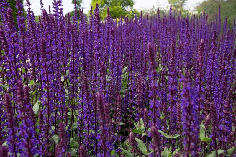 Plant, Common Sage, Purple, English Lavender royalty free stock photography