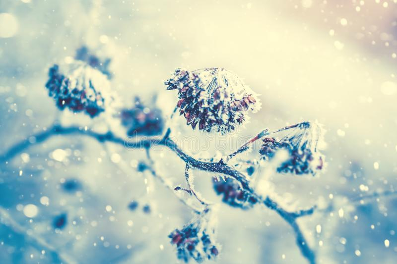 Plant covered with ice frost. Dry wild plant covered with ice frost. Winter snowy nature background stock photography