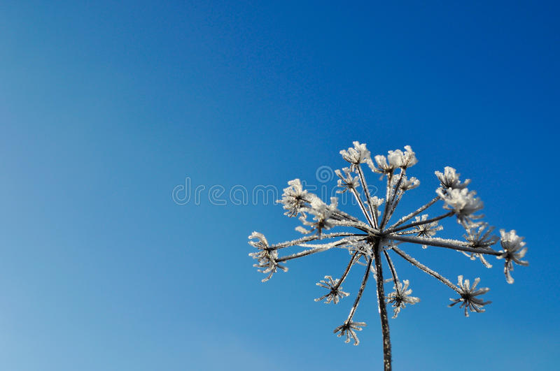 Plant covered with snow and ice against the blue sky in winter royalty free stock photo