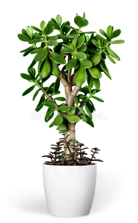 Plant Crassula in a flower pot isolated on a white stock photos