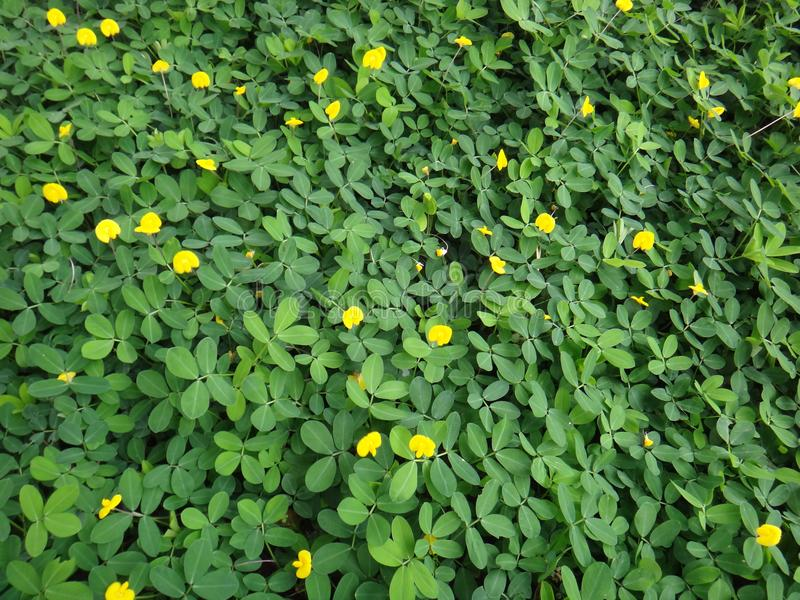 Plant of the creeping peanut with small yellow flowers stock image download plant of the creeping peanut with small yellow flowers stock image image of backyard mightylinksfo