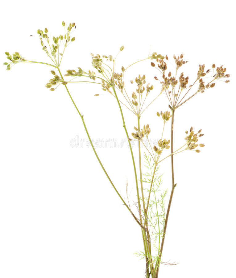 Free Plant Cumin Royalty Free Stock Images - 26380969