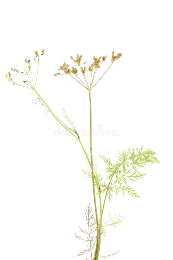 Plant cumin. Fresh plant of unripe cumin on white background stock photos