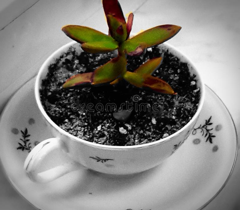 Plant to coffee royalty free stock photos