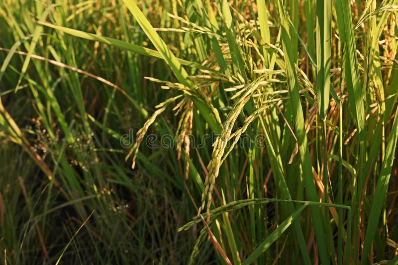 Plant disease, dirty panicle disease in rice. Fungus disease causes yield quality lose stock photos