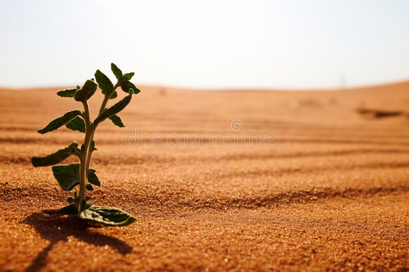 A plant on a dry desert land at sunrise. Rebirth, hope, new life beginnings and spring season concept. A plant on a dry desert land at sunrise. Hope, new life stock photography