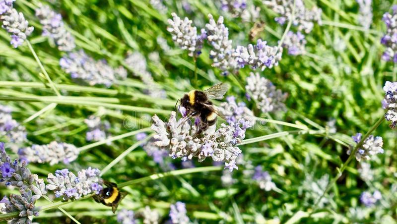 Plant, English Lavender, Bee, Lavender royalty free stock photography