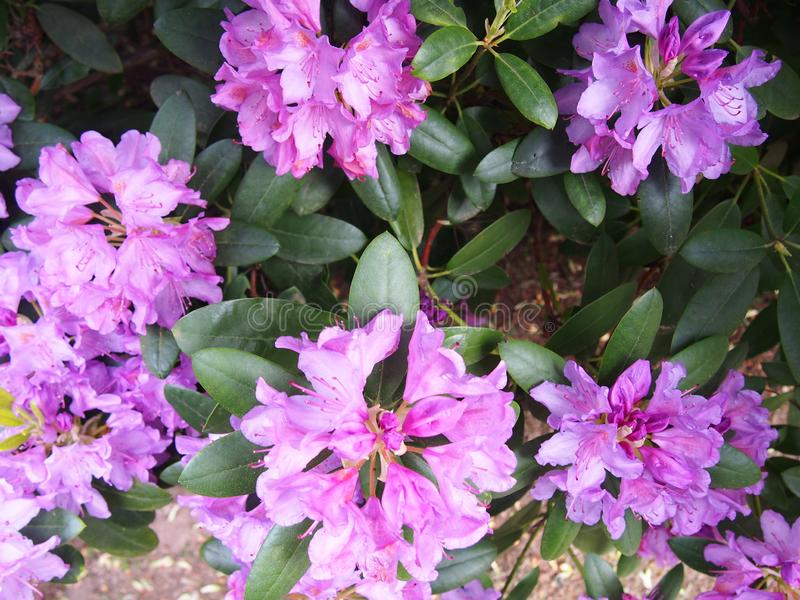 Pink azalea flowers Glinna dendrological garden, Poland, May 2019 royalty free stock photos