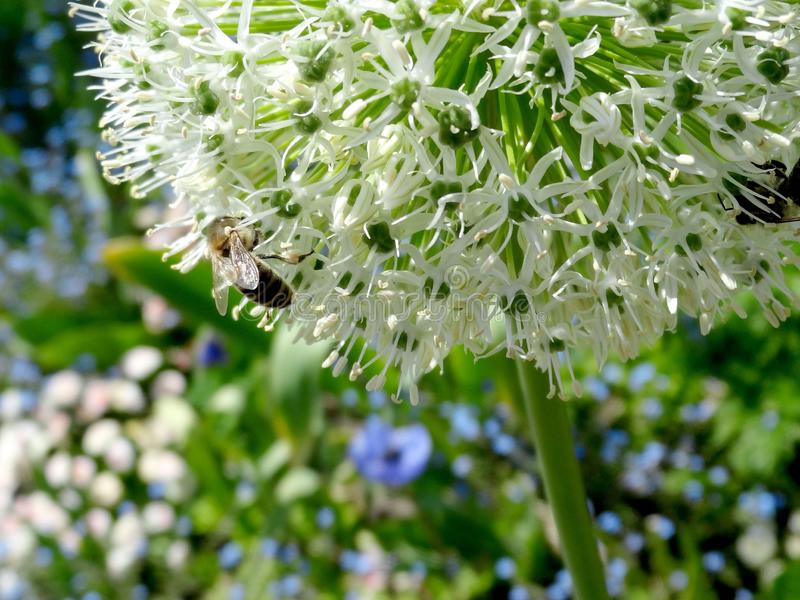 Plant, Flora, Flower, Honey Bee royalty free stock images
