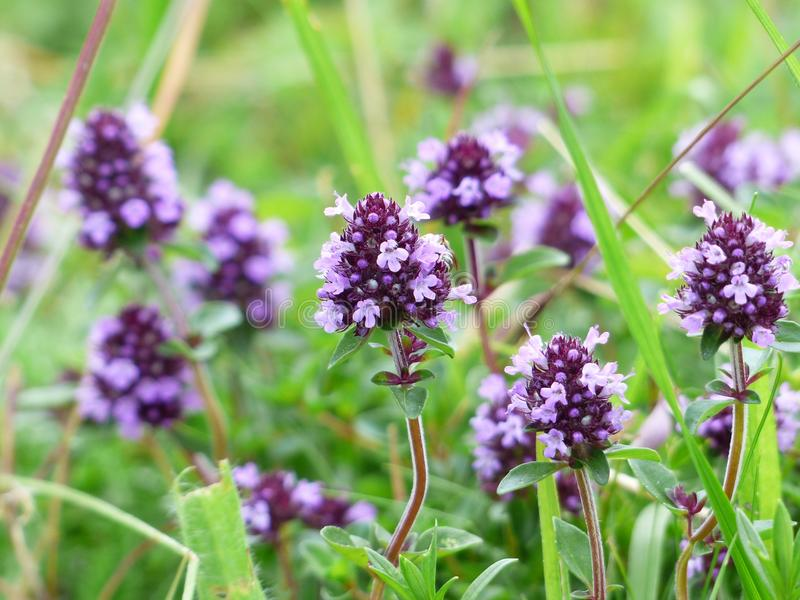 Plant, Flower, Flora, Breckland Thyme stock photo