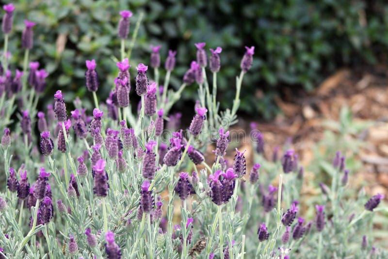 Plant, Flower, French Lavender, English Lavender Free Public Domain Cc0 Image