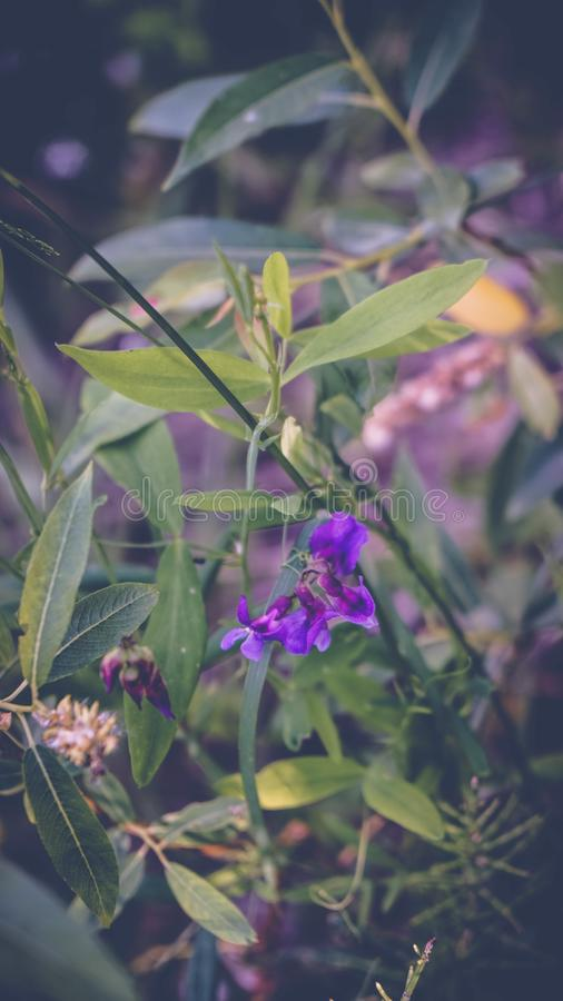 Plant flower purple meadow vegetation and flora of Russia stock photo