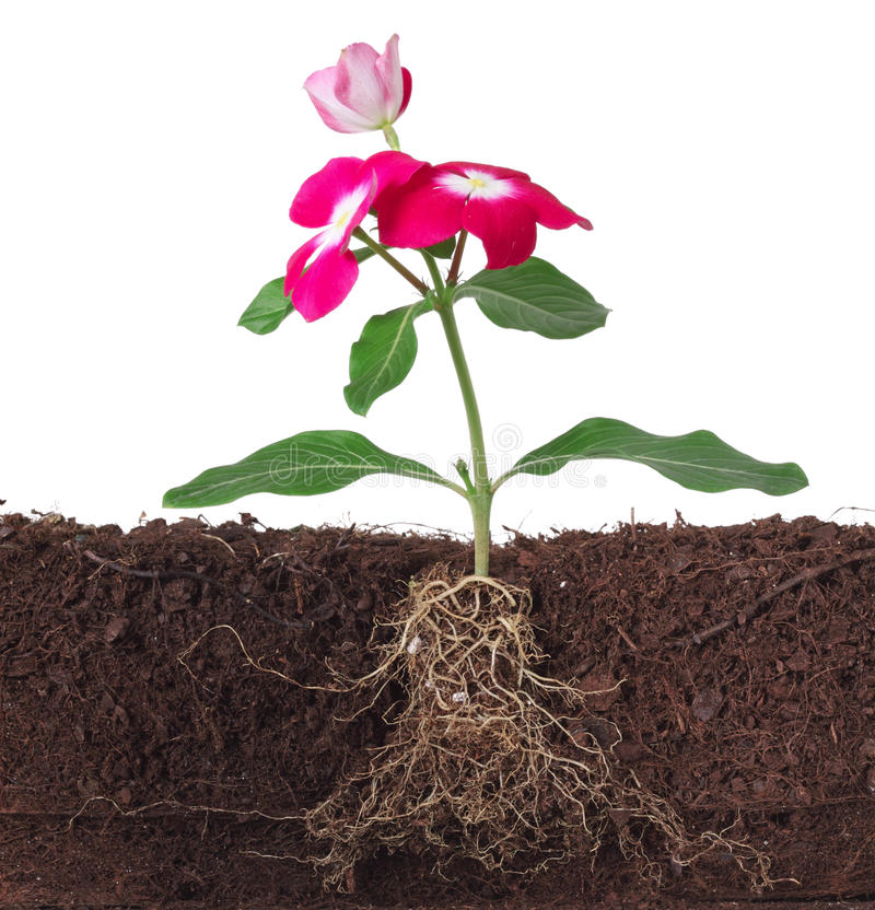 Plant with flowers and visible root stock photos