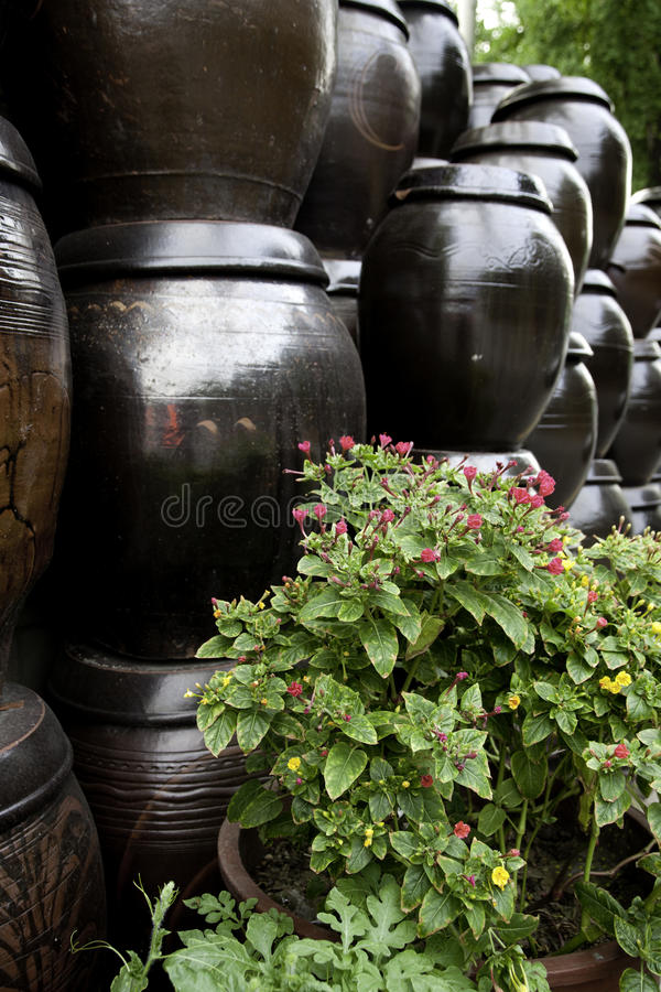 Download Plant In Front Of Kimchi Jars. Stock Image - Image: 26455343