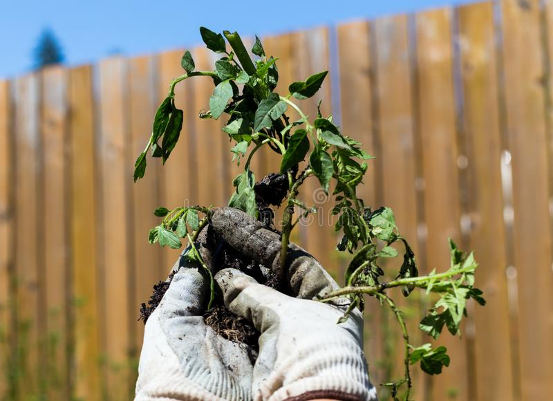 Plant with gardener`s hands royalty free stock photography