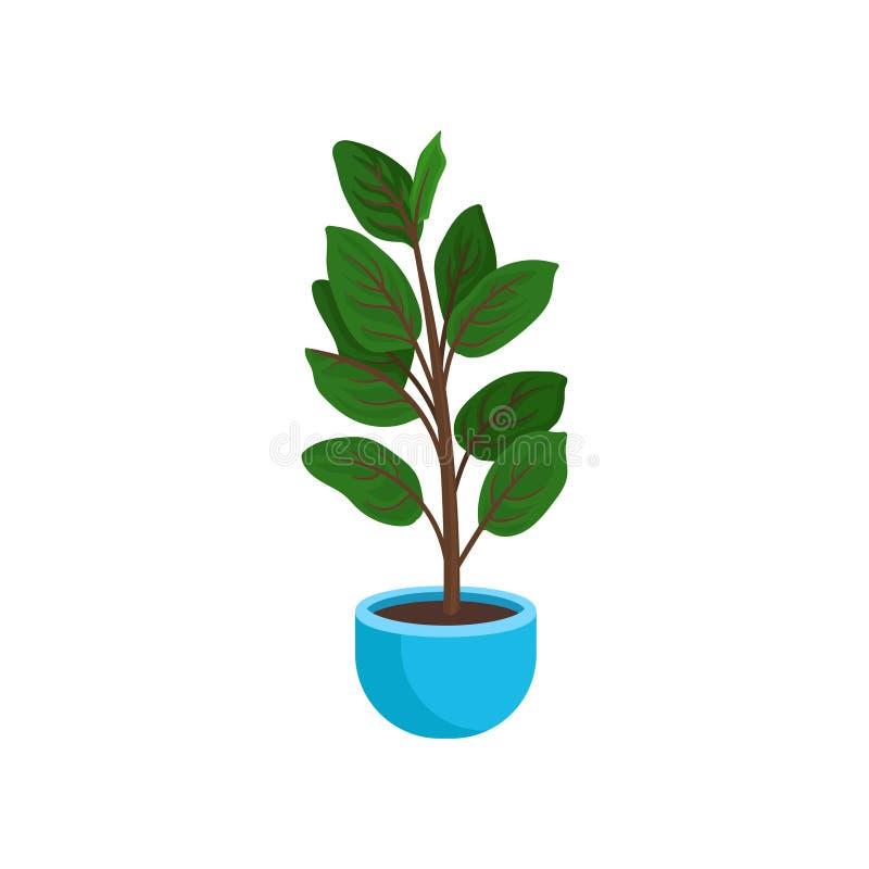 Plant gommifère élastique ou de ficus dans le pot de fleurs bleu lumineux Plante d'intérieur grande avec les feuilles vertes larg illustration libre de droits